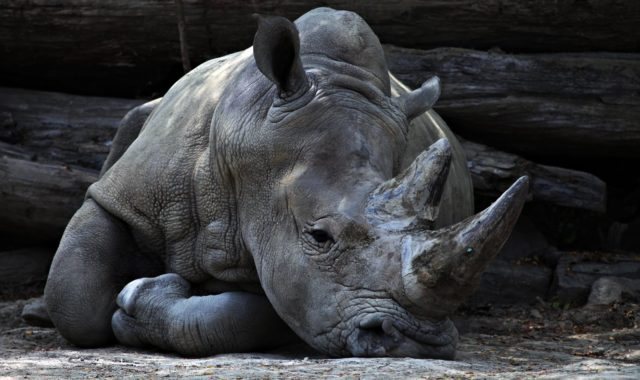 Rhino laying down